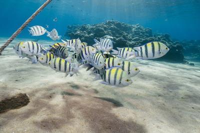 Small School of Sergeant Major Fish (Abudefduf Vaigiensis) in Shallow Sandy Bay