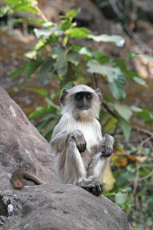 Gray Langur (Hanuman Langur) (Semnopithecus Hector)