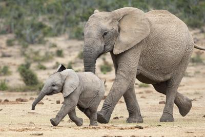 African Elephant (Loxodonta Africana) and Calf, Running to Water, Addo Elephant National Park