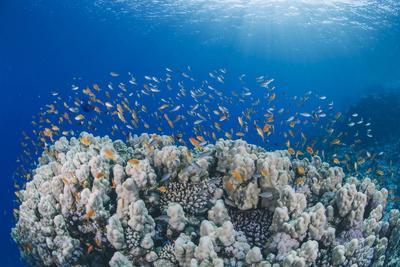 Lyretail Anthias (Pseudanthias Squamipinnis), School over Mountain Coral, Reef