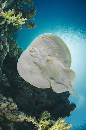 Leopard Torpedo Ray (Electric Ray) (Torpedo Panthera), Underside View, Back-Lit by the Sun