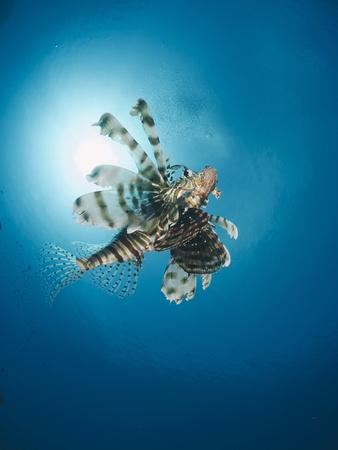 Common Lionfish (Pterois Miles) from Below, Back-Lit by the Sun, Naama Bay