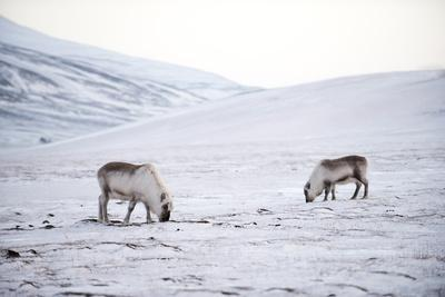 Svalbard Reindeer (Rangifer Taradus Spp. Platyrhynchus) Grazing in Winter