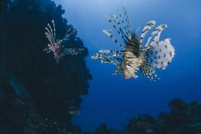 Common Lionfish (Pterois Miles), Front View, Naama Bay