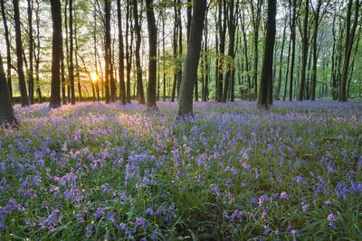 Bluebell Wood, Stow-On-The-Wold, Cotswolds, Gloucestershire, England, United Kingdom