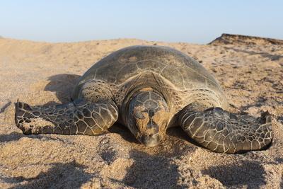 Green Turtle, Ras Al Jinz, Oman.