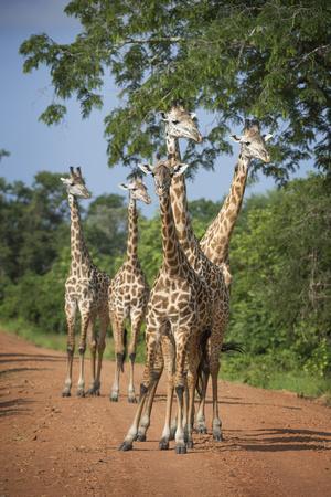 Thornicroft's Giraffe (Giraffa Camelopardalis Thornicrofti)