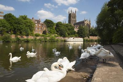 Swans Beside the River Severn and Worcester Cathedral, Worcester, Worcestershire, England