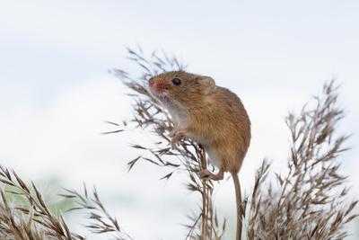 Eurasian Harvest Mouse (Micromys Minutus), Devon, England, United Kingdom