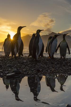 King Penguins (Aptenodytes Patagonicus) at Sunrise, in St. Andrews Bay, South Georgia