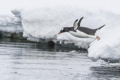 Gentoo Penguin (Pygoscelis Papua) Returning to the Sea to Feed at Dorian Bay, Antarctica