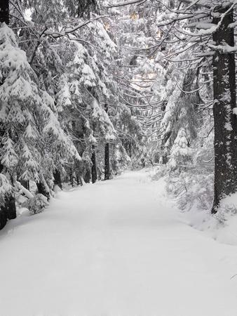 Path Through a Forest in Winter