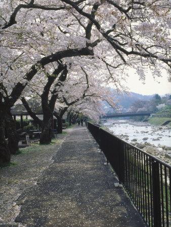 Cherry Blossoms, Sakura, Hakone, Japan