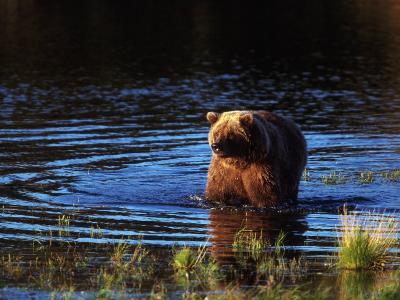 Grizzly Bear, Ursus Arctos Middendorffi, AK