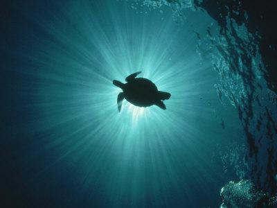 Silhouette of Underwater Sea Turtle from Beneath