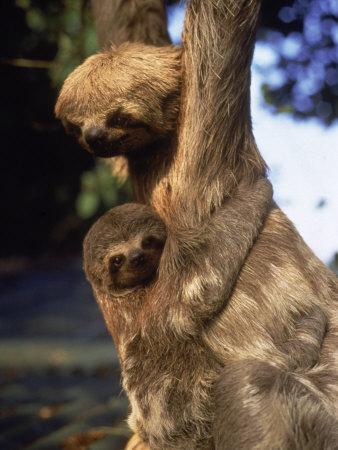 Sloths, Rio de Janeiro, Brazil