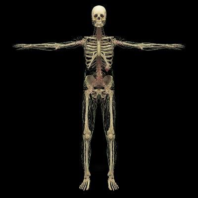 3D Rendering of Human Lymphatic System with Skeleton