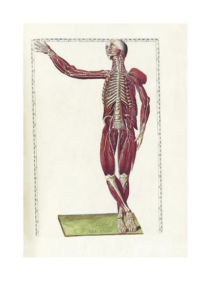 The Science Of Human Anatomy By Bartholomeo Eustachi Posters By