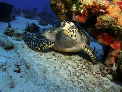 A Hawksbill Sea Turtle Resting under a Reef in Cozumel, Mexico