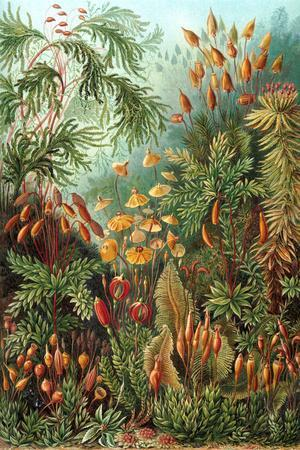 Muscinae Nature by Ernst Haeckel
