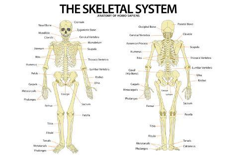 The Skeletal System Anterior Andior View Anatomical Chart