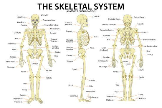 The Skeletal System Anatomy And Physiology Science Chart Prints At