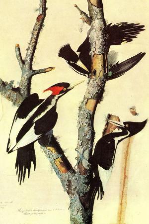 Audubon Ivory-Billed Woodpecker Bird