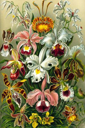 Orchidae Nature by Ernst Haeckel