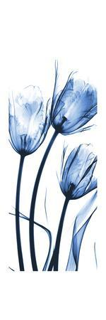 Three Blue Tulips