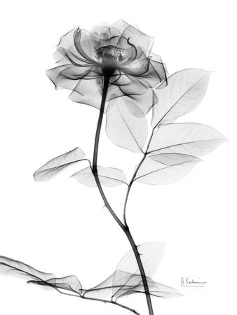 Rose Gray A