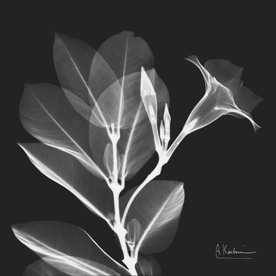 Mandelilla Shadow 1