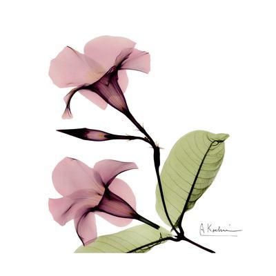 Pink Mandelila