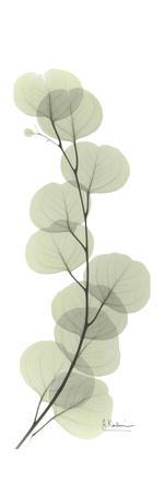 Eucalyptus Branch Up