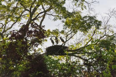 Storks with Nest on a Tree, North Rupununi, Southern Guyana