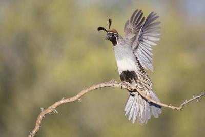 USA, Arizona, Buckeye. Female Gambel's Quail Raises Wings on Branch