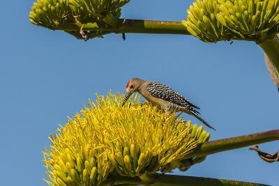 USA, Arizona, Sonoran Desert. Male Gila Woodpecker on Century Plant