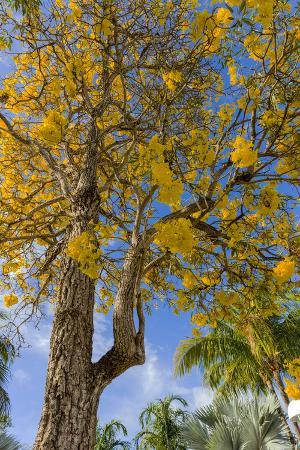 Tabula Tree Flowering in Spring in Key West, Florida, USA