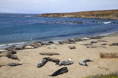 Elephant Seals, Piedras Blancas, San Simeon, California