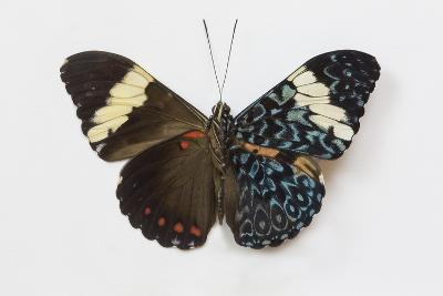 Cracker Butterfly or the Arinome Cracker, Comparison of Wings