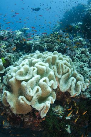Leather Coral (Alcyonacea), Fiji. Coral Reef Diversity