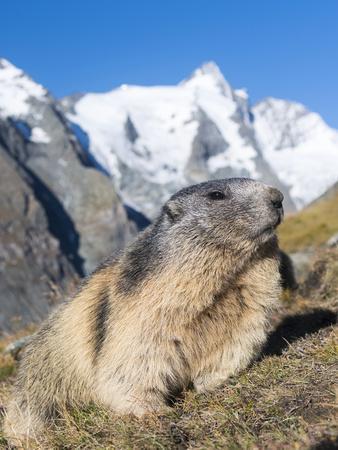 Alpine Marmot in the Hohe Tauern, Mount Grossglockner. Austria