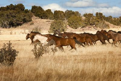 Herd of Horses Running on Dry Grassland and Brush