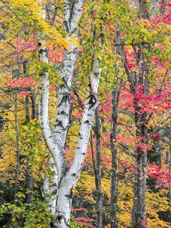 Michigan, Upper Peninsula. Hardwood Forest in Ontonagon County in Fall