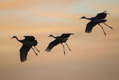 Sandhill Crane (Grus Canadensis) Landing at Sunset