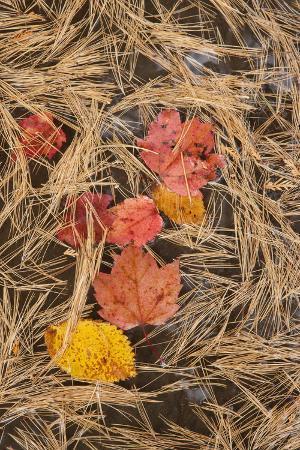 Michigan, Upper Peninsula. Leaves Float in Pool of White Pine Needles