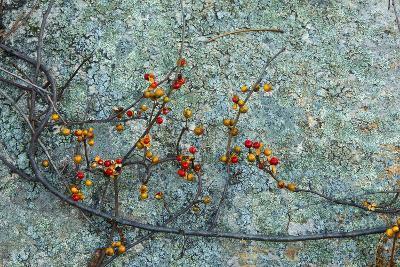 Berries and a Rock at Elmwood Farm in Hopkinton, Massachusetts