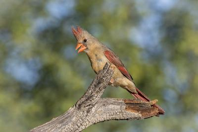 USA, Arizona, Amado. Female Cardinal on Branch