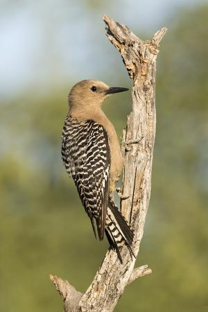 USA, Arizona, Amado. Female Gila Woodpecker on Dead Tree Trunk