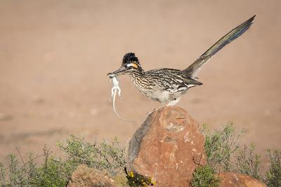 Arizona, Santa Rita Mountains. a Greater Roadrunner on Rock with Prey