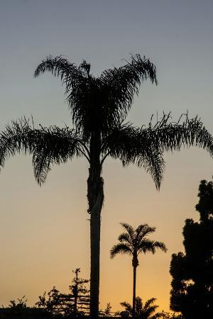 California, Carpinteria, Palm Tree Silhouettes at Sunset